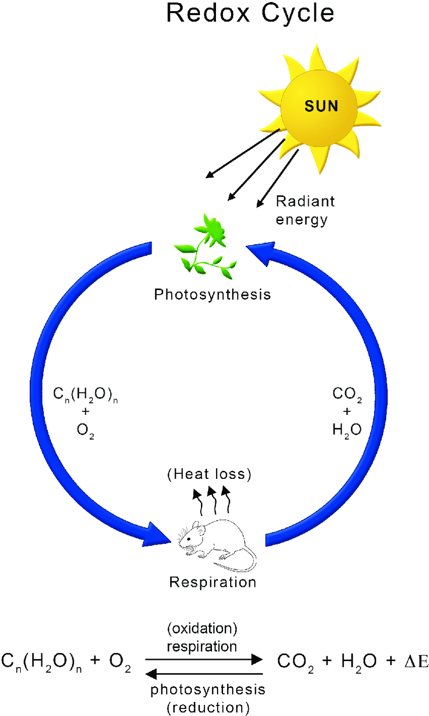 Diagram Of Photosynthesis Global Energy Flux Underlying Redox Cycle Between Photosynthesis And