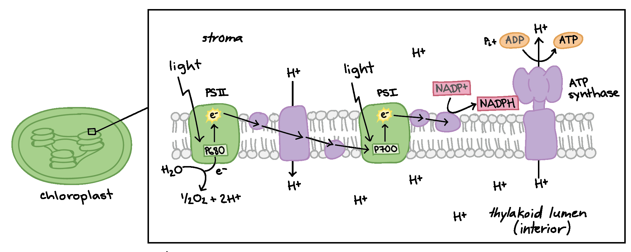 Diagram Of Photosynthesis Light Dependent Reactions Photosynthesis Reaction Article Khan
