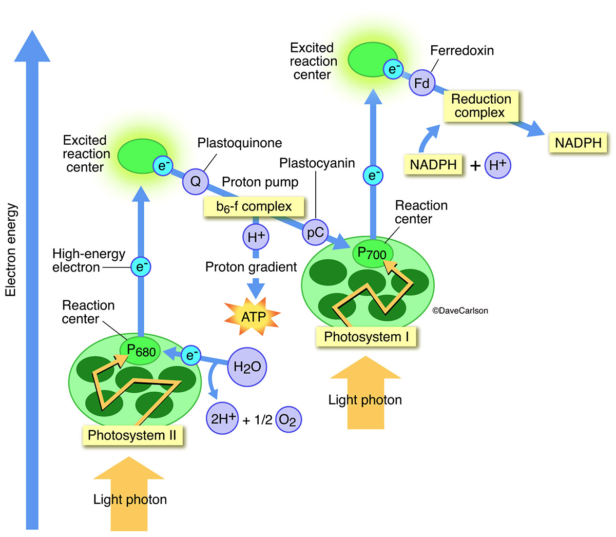 Diagram Of Photosynthesis Photosynthesis Carlson Stock Art