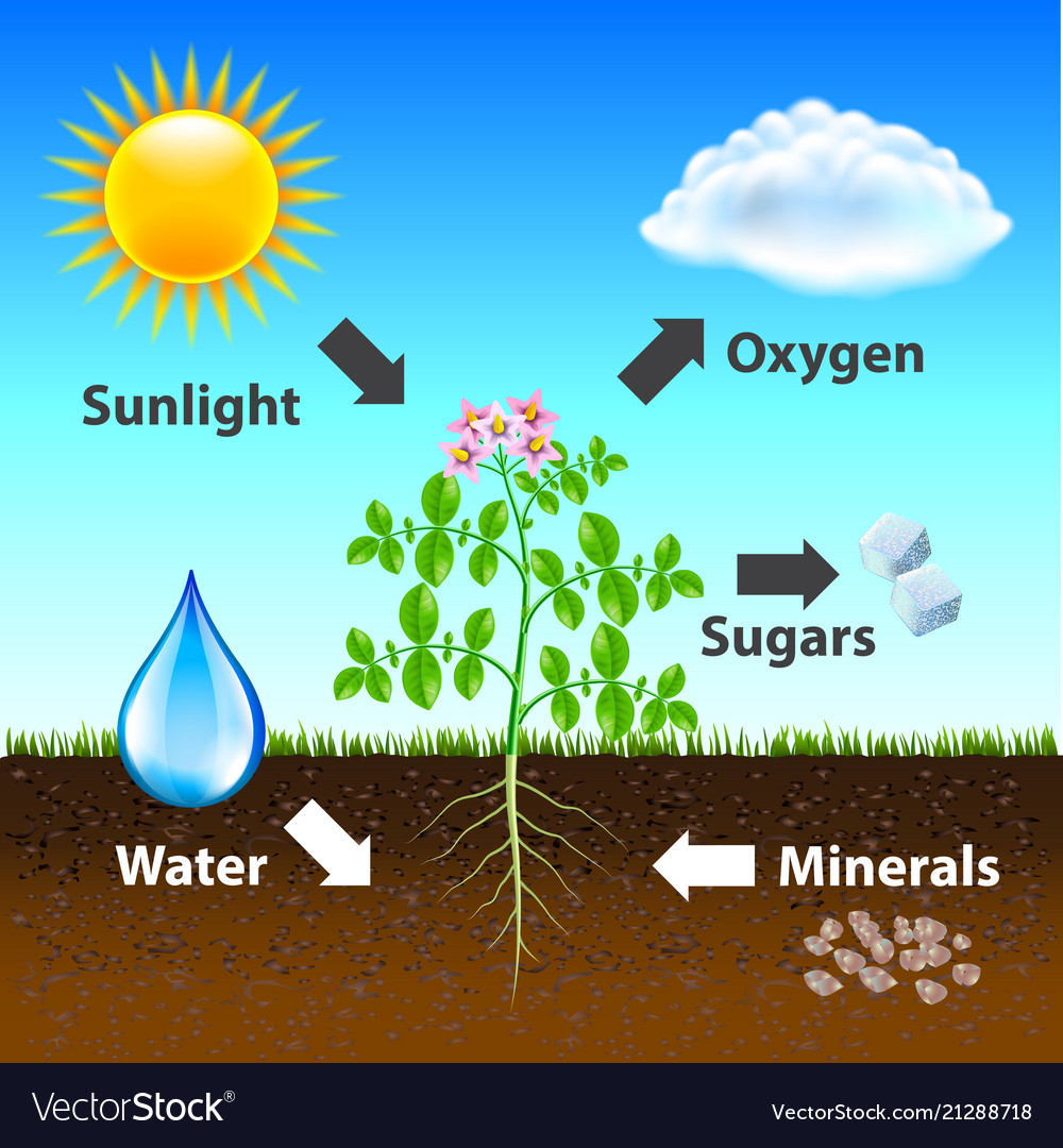 Diagram Of Photosynthesis Photosynthesis Diagram Background