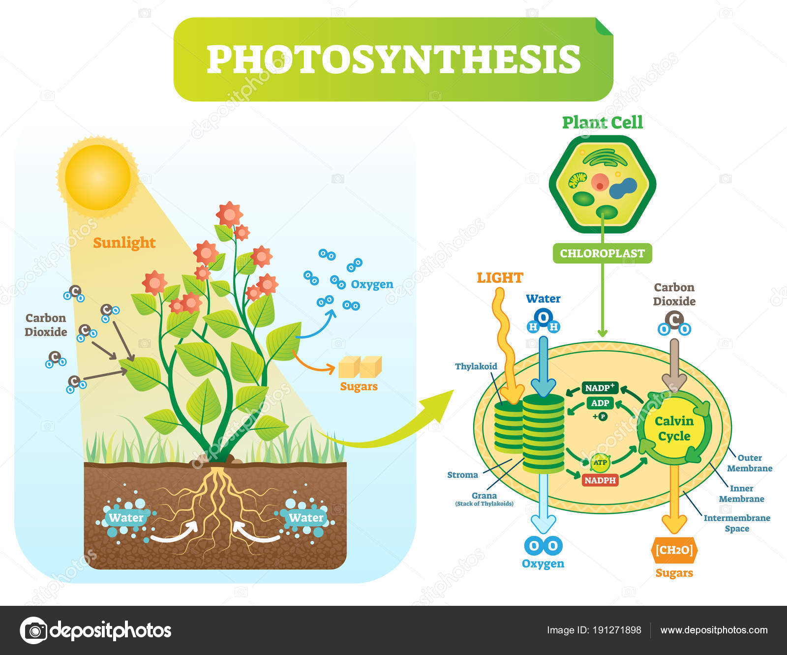 Diagram Of Photosynthesis Photosynthesis Picture Diagram Photosynthesis Biological Vector