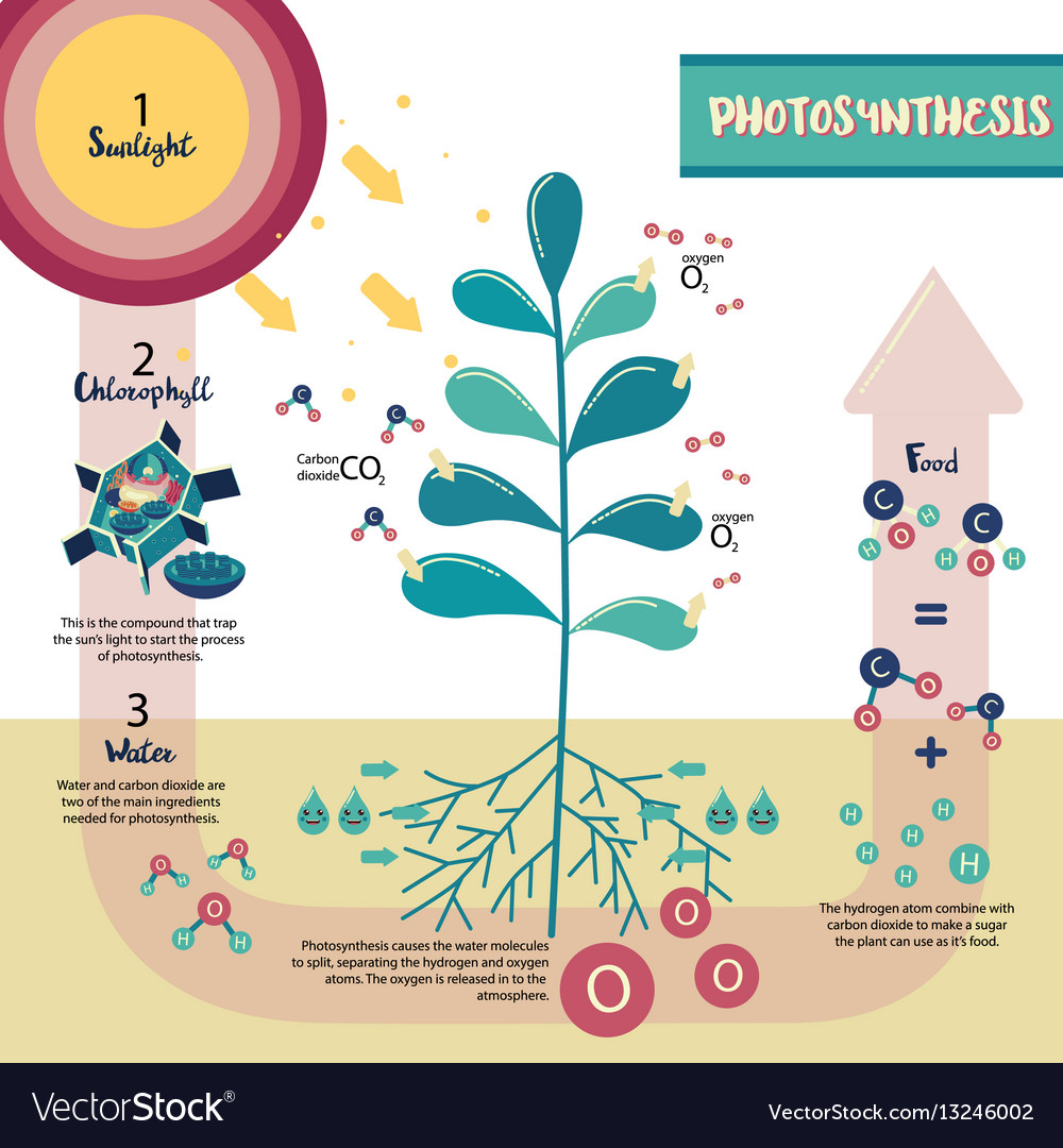 Diagram Of Photosynthesis Photosynthesis Process Diagram