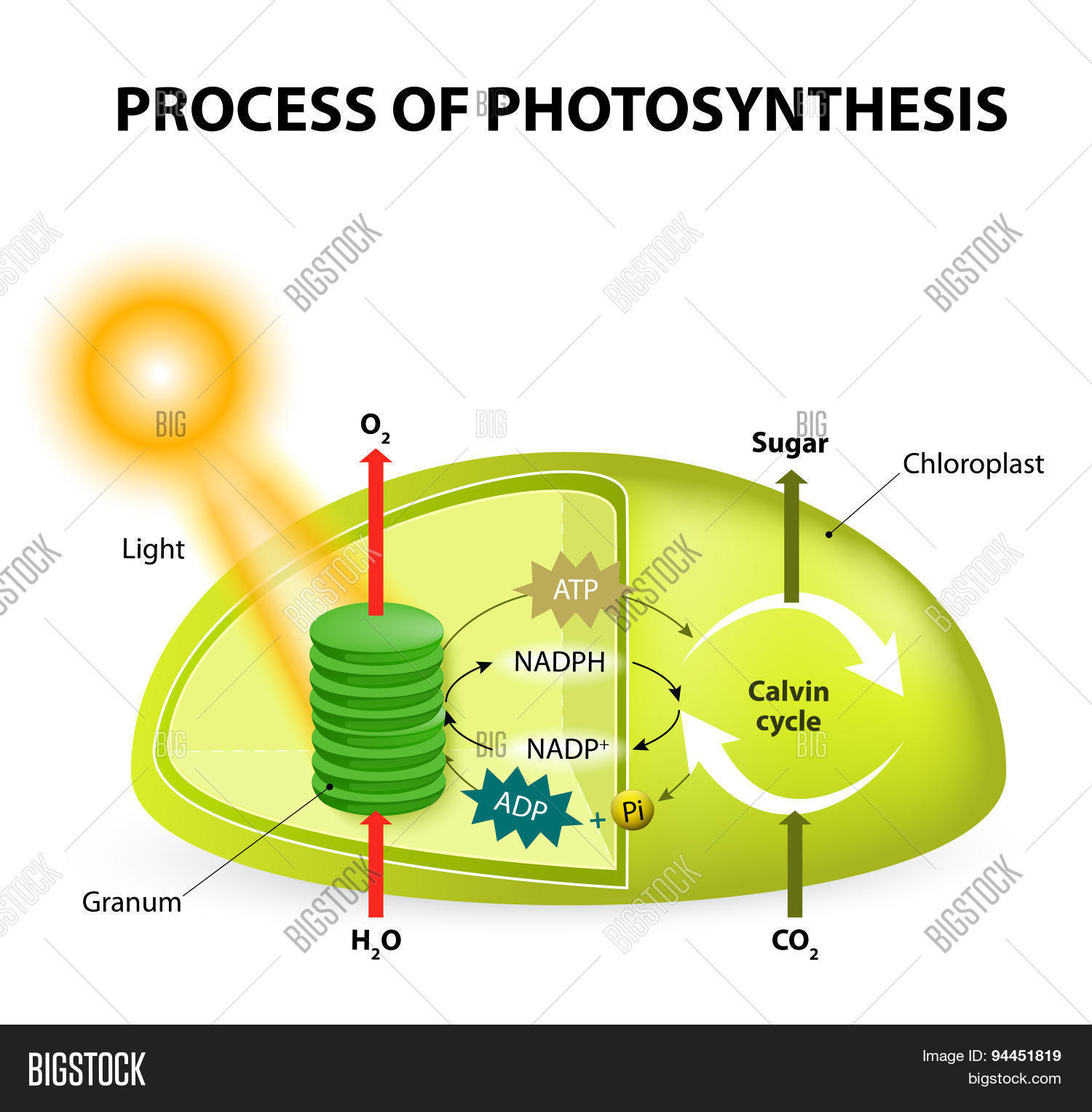Diagram Of Photosynthesis Photosynthesis Vector Photo Free Trial Bigstock