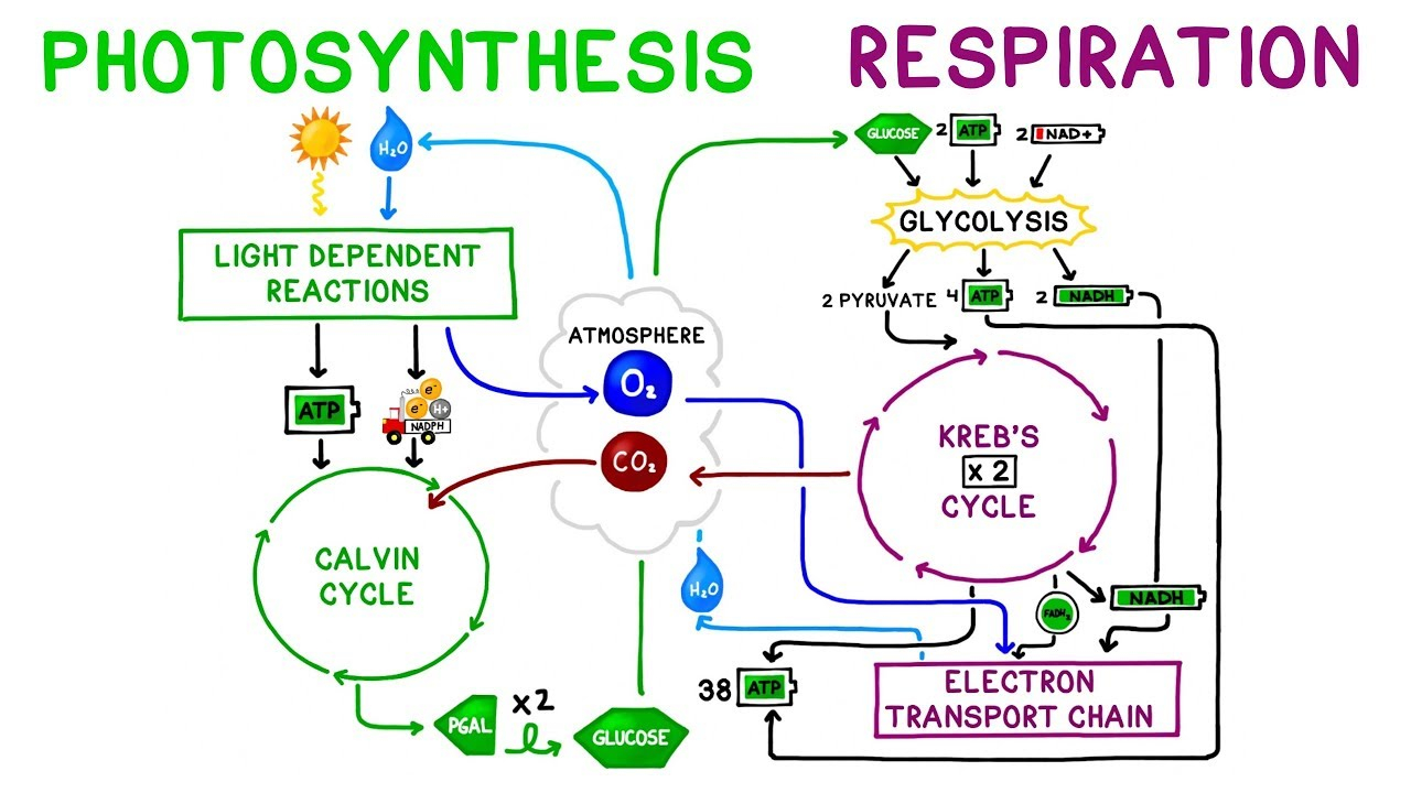 Diagram Of Photosynthesis Photosynthesis Vs Cellular Respiration Comparison