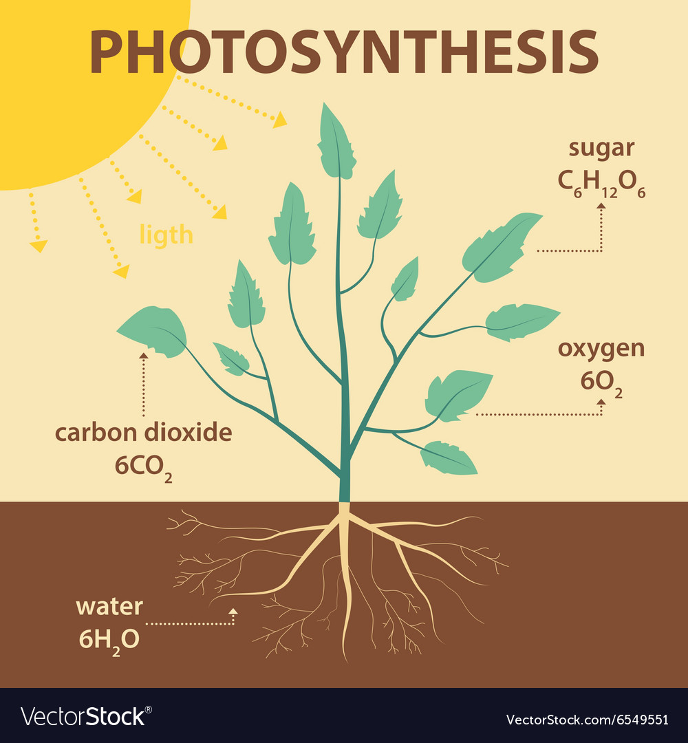 Diagram Of Photosynthesis Schematic Diagram Photosynthesis Plant