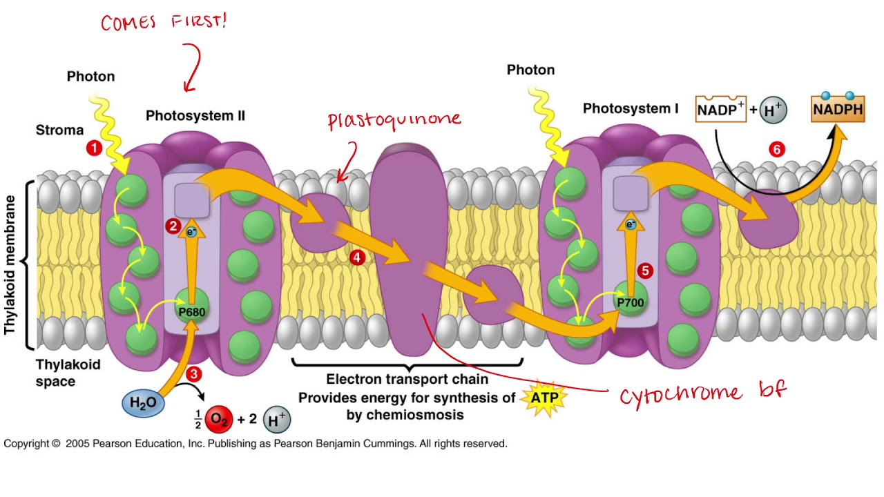 Diagram Of Photosynthesis Z Diagram Of Photosynthesis