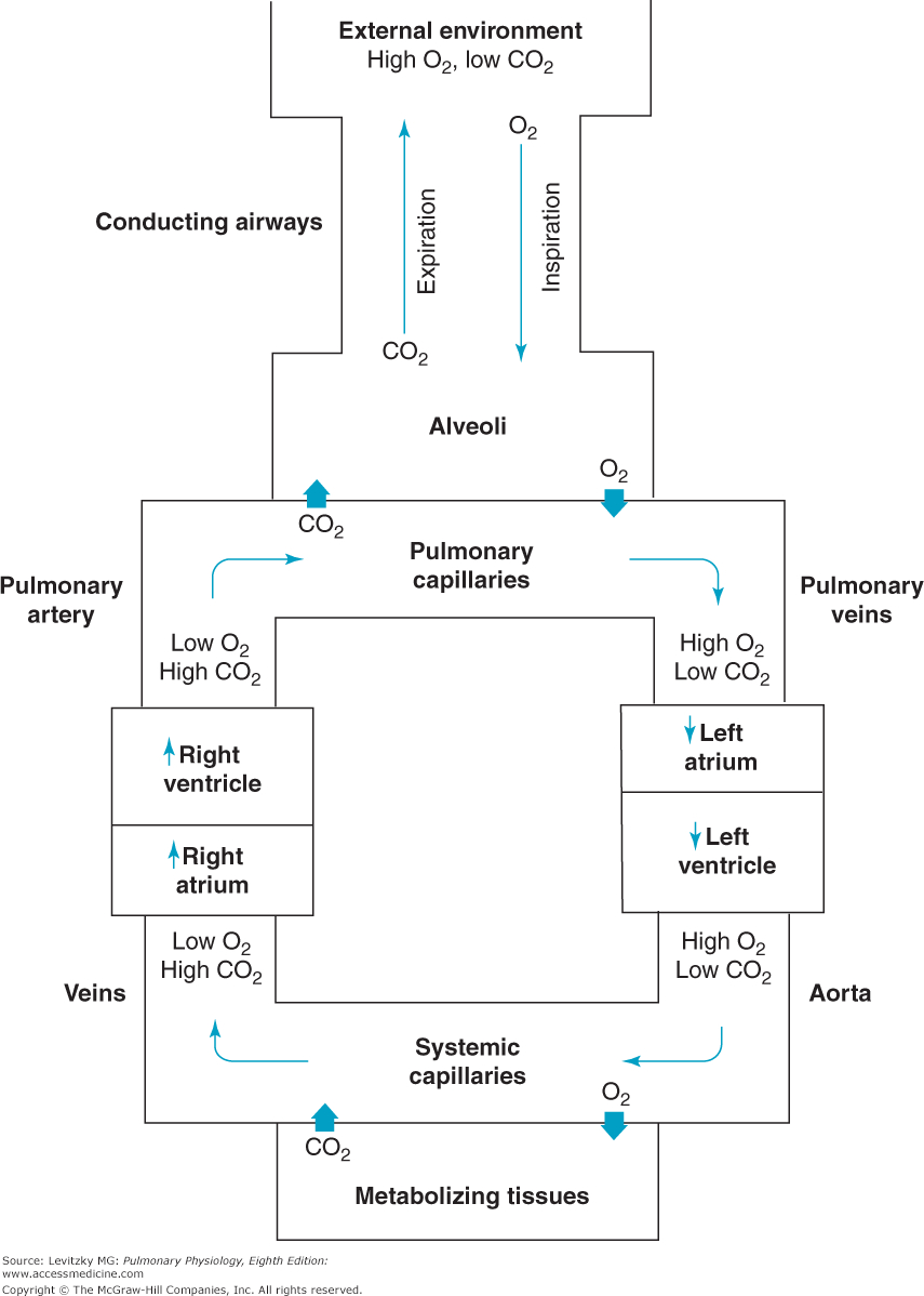 Diagram Of Respiratory System Chapter 1 Function And Structure Of The Respiratory System