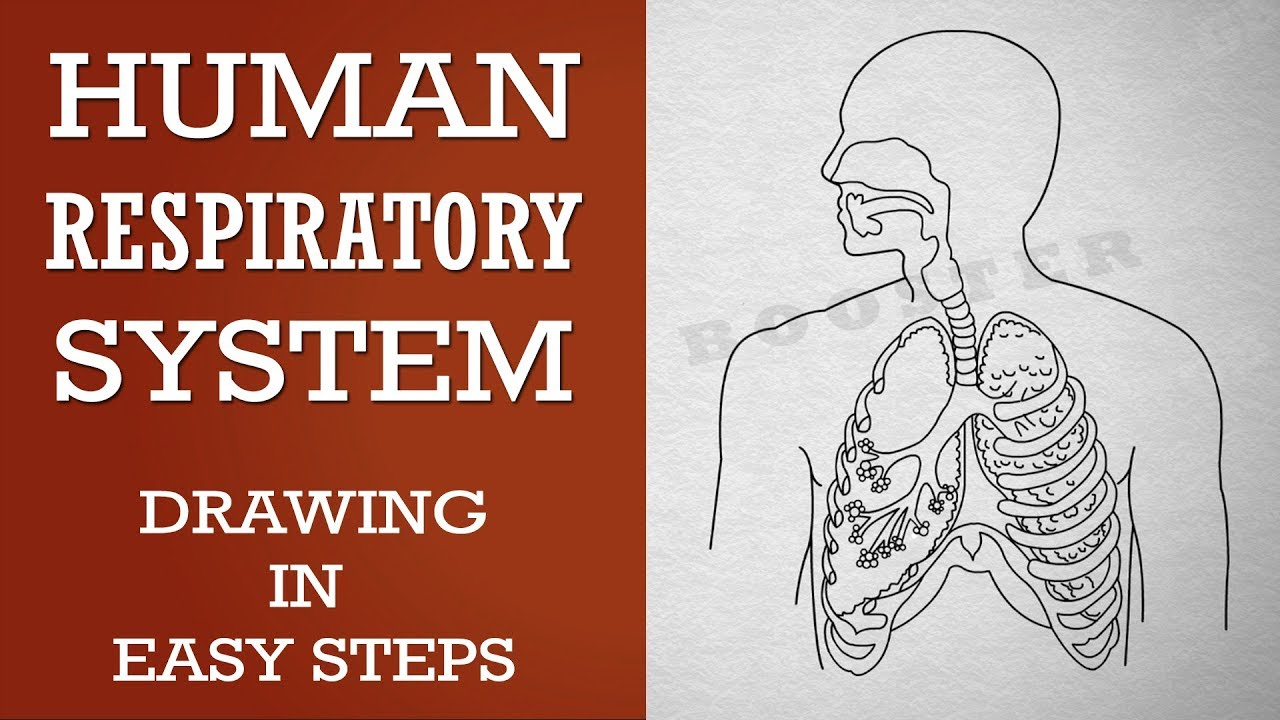 Diagram Of Respiratory System How To Draw Human Respiratory System In Easy Steps 10th Biology Science Cbse Ncert Class 10