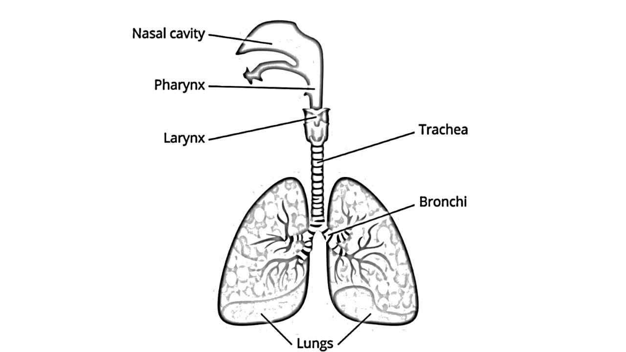 Diagram Of Respiratory System How To Draw Human Respiratory Systemrespiratory Systemdraw Labelled Diagram Of Respiratory System