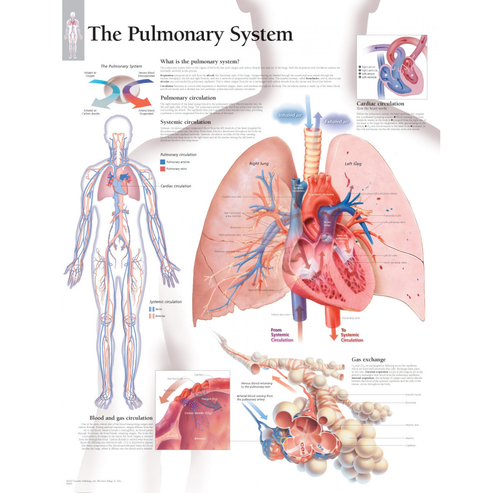 Diagram Of Respiratory System The Pulmonary System Chart