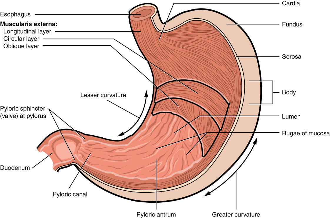 Diagram Of Stomach 234 The Stomach Anatomy And Physiology