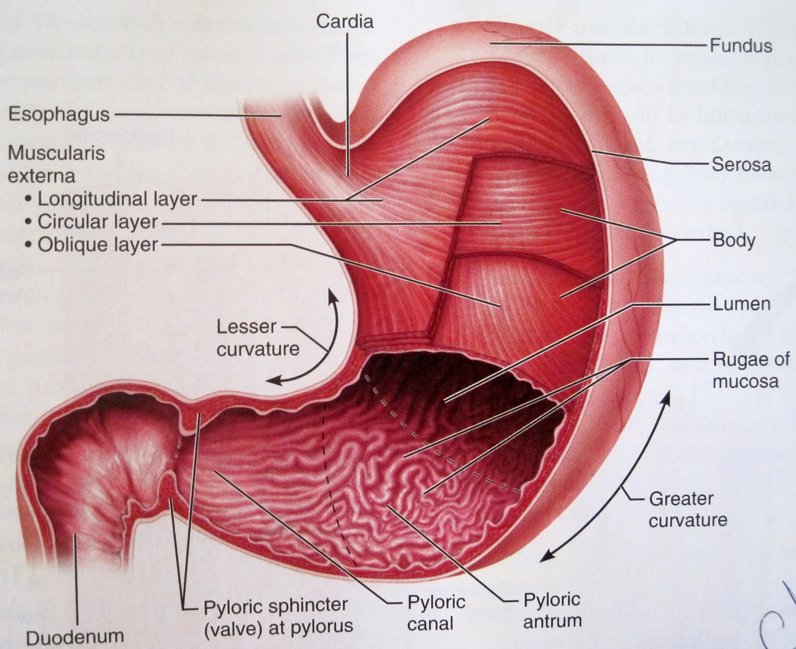 Diagram Of Stomach Anatomy Of The Human Stomach Diagram