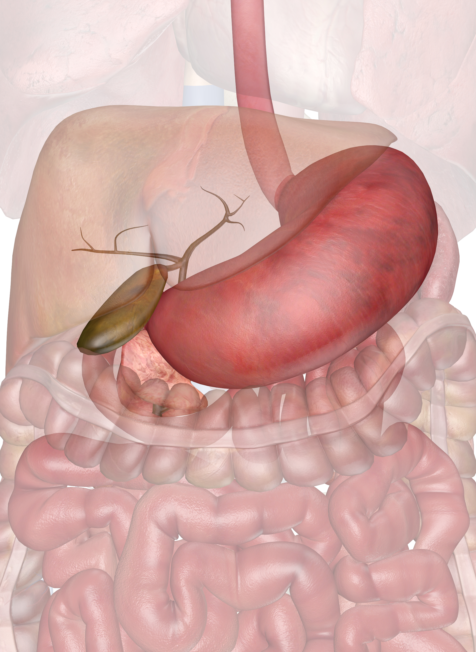 Diagram Of Stomach Stomach Gallbladder And Pancreas Interactive Anatomy Guide