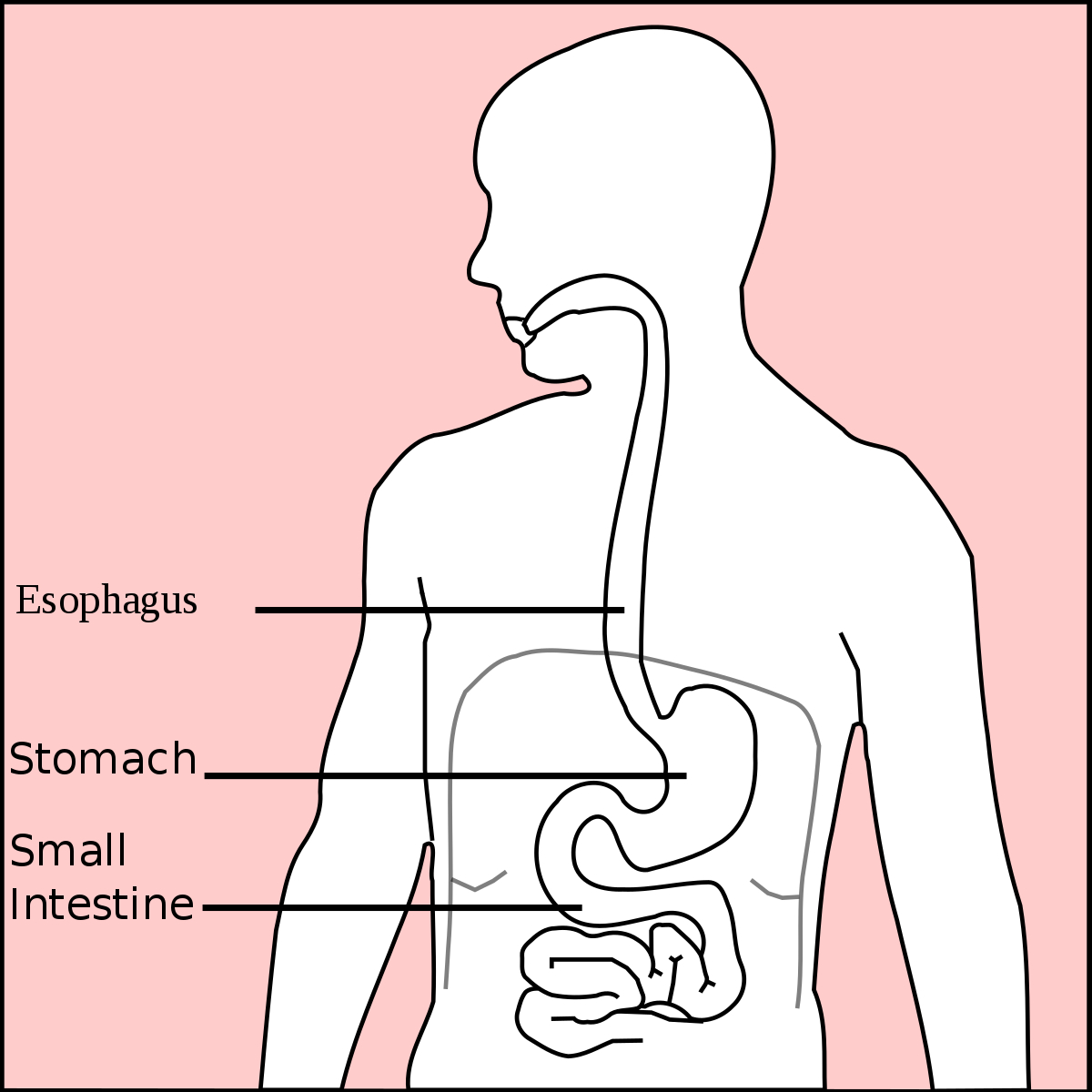 Diagram Of Stomach Stomach Wikipedia