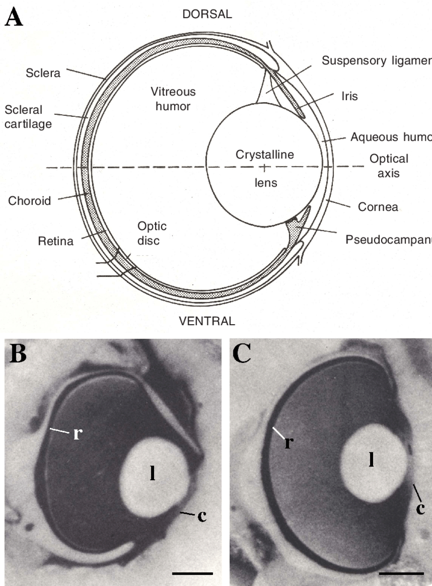 Diagram Of The Eye 3 The Eyes Of Sharks And Rays A Schematic Diagram Of The Eye Of