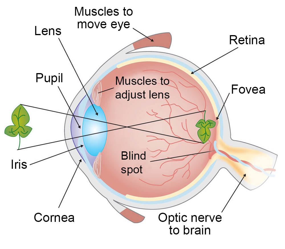 Diagram Of The Eye How Vision Works Our Sense Of Sight Ask A Biologist