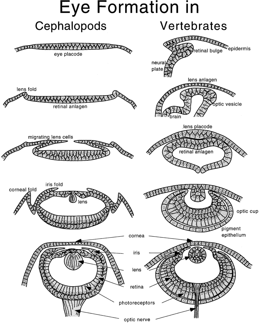 Diagram Of The Eye Schematic Diagram Of Cephalopod Eye Development Left And