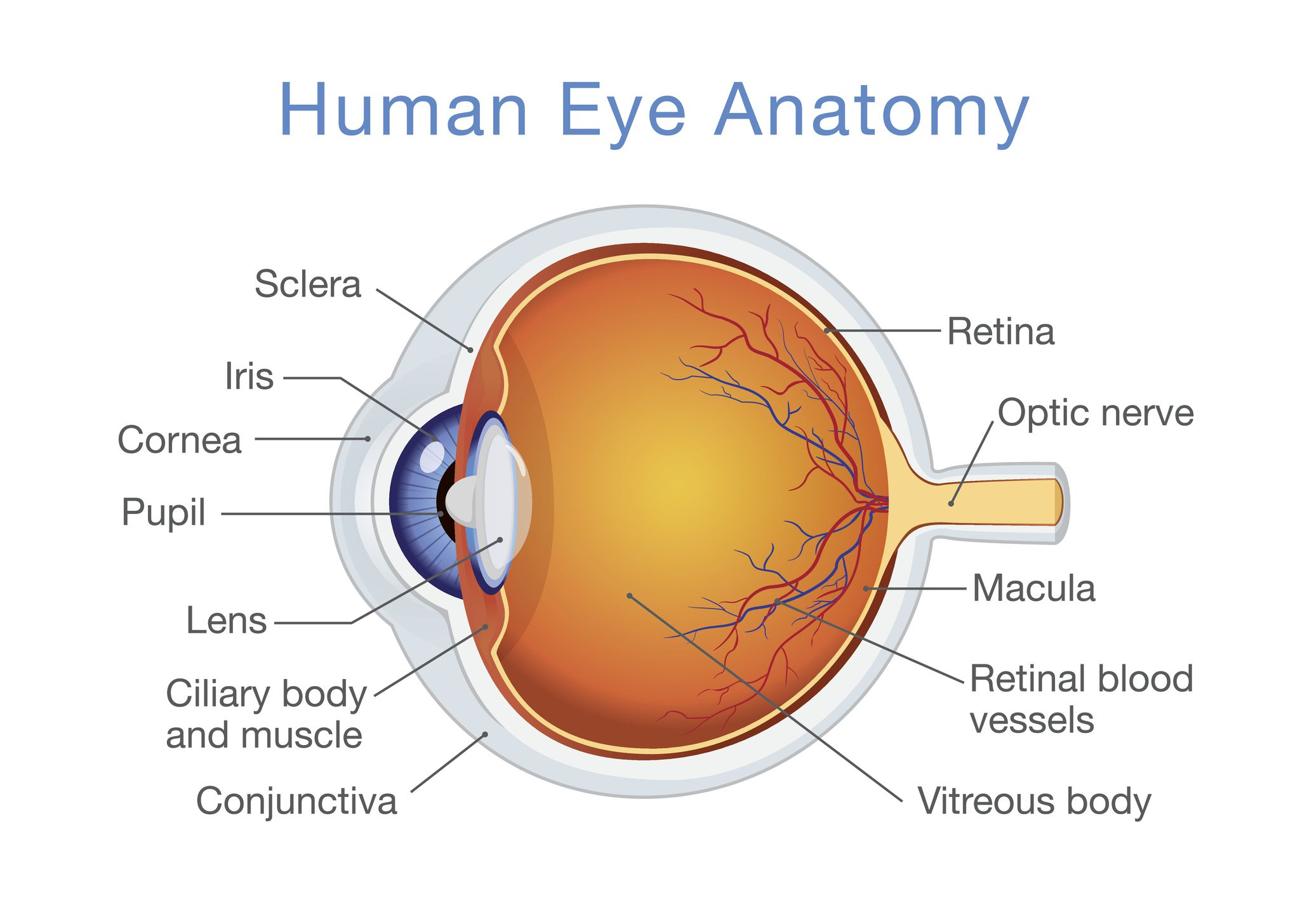 Diagram Of The Eye Structure And Function Of The Human Eye