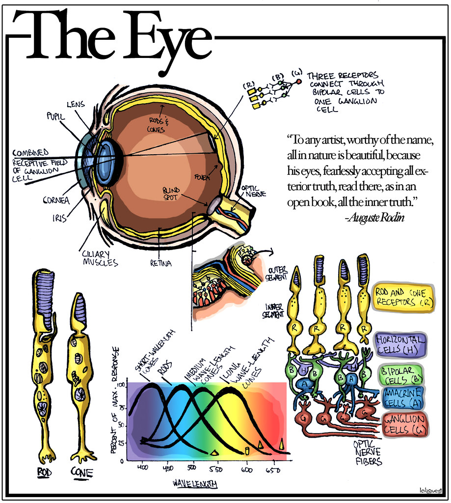 Diagram Of The Eye The Eye Diagram Of The Eye Rods Cones Different Types Of Flickr