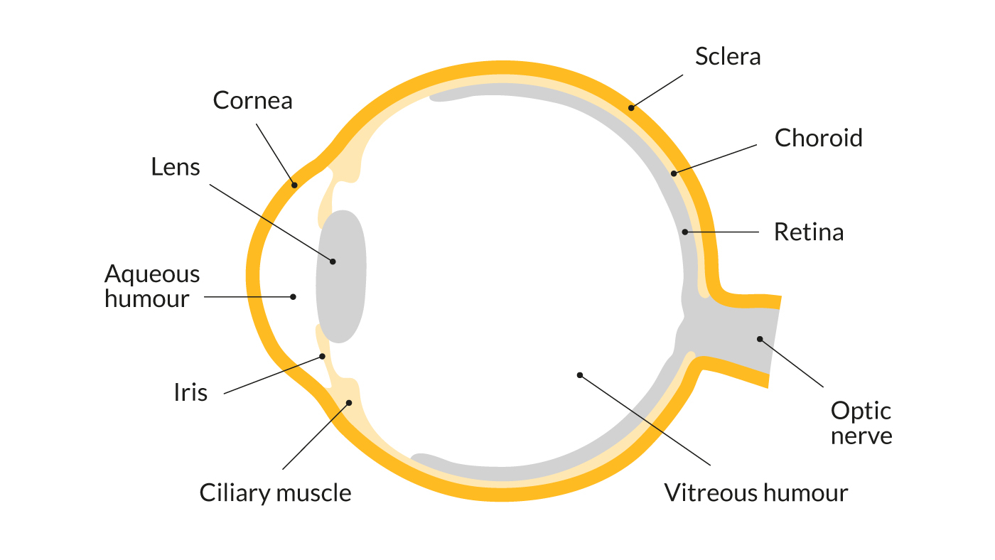 Diagram Of The Eye The Eyes Protecting Sight Sightsavers