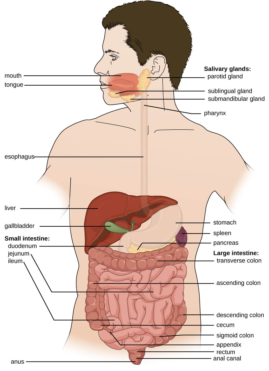 Digestive System Diagram Anatomy And Normal Microbiota Of The Digestive System Microbiology