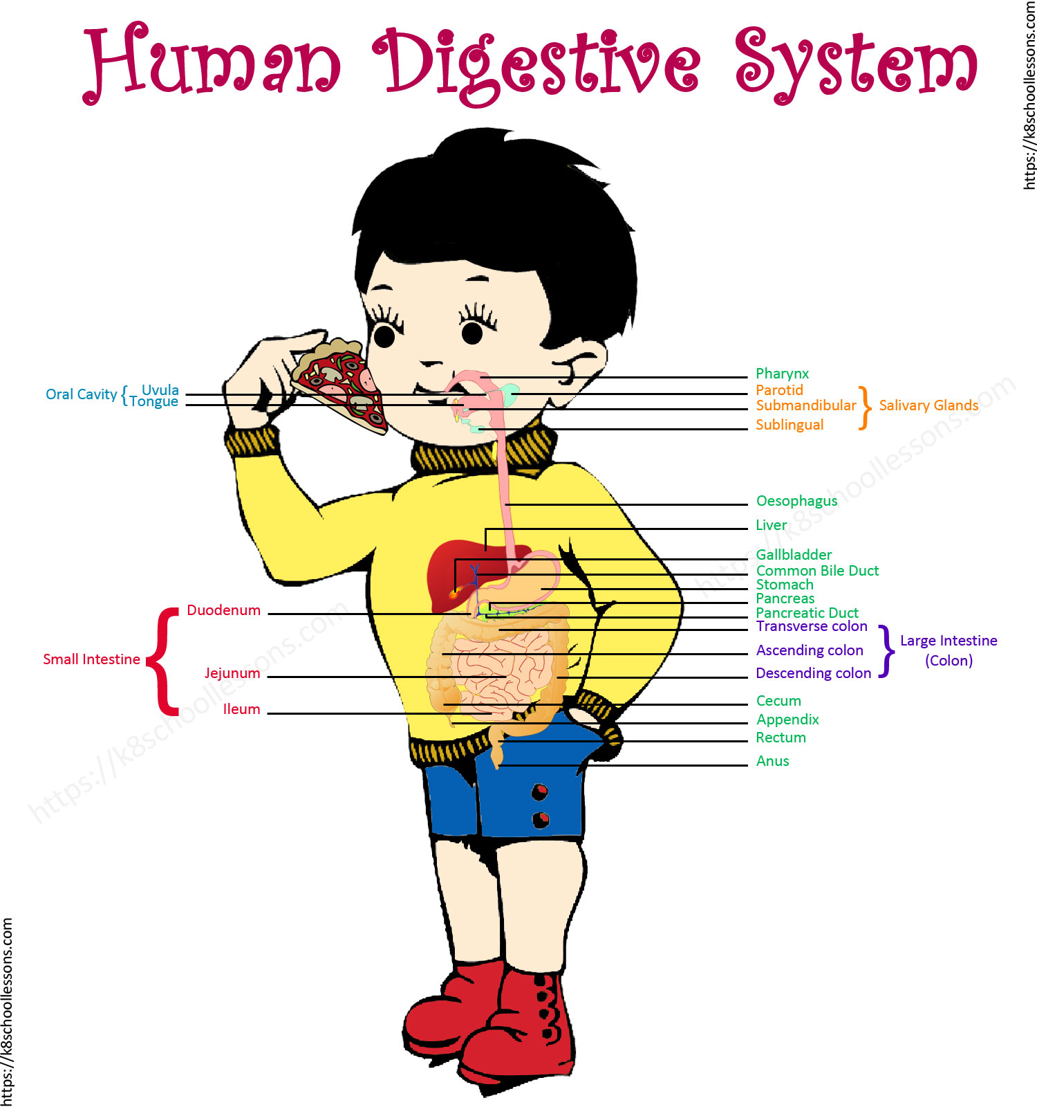 Digestive System Diagram Digestive System For Kids Human Digestive System Human Body Facts