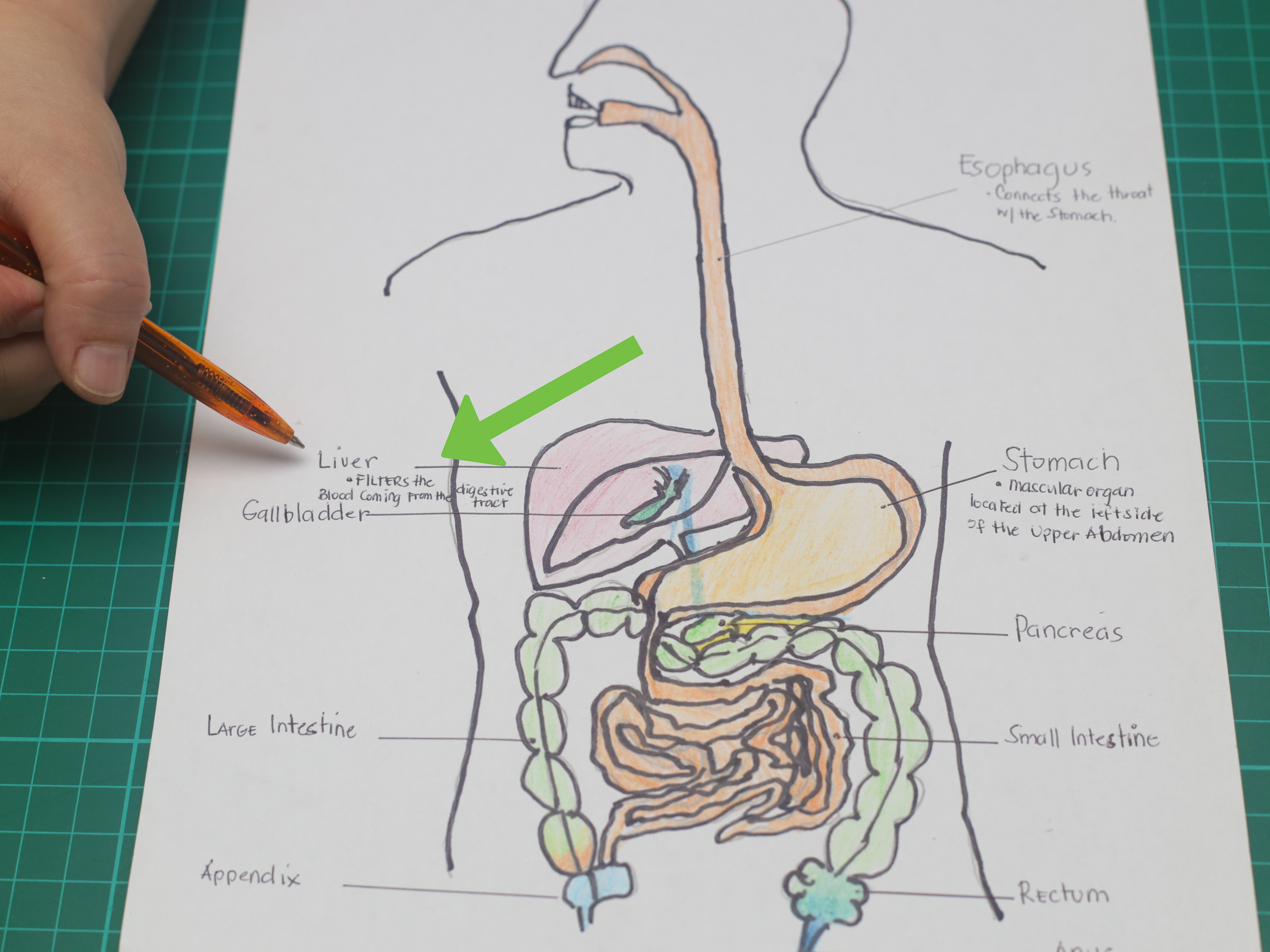 Digestive System Diagram How To Draw A Model Of The Digestive System 15 Steps