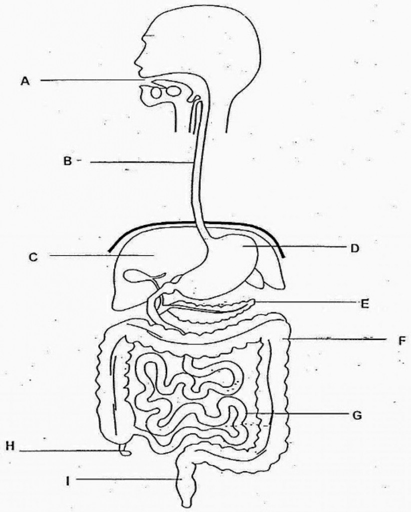 Digestive System Diagram Sketch Of Human Digestive System At Paintingvalley Explore