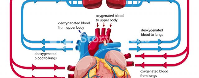 Heart Blood Flow Diagram Diagram Showing Blood Flow Of Human Heart Illustration Royalty Free