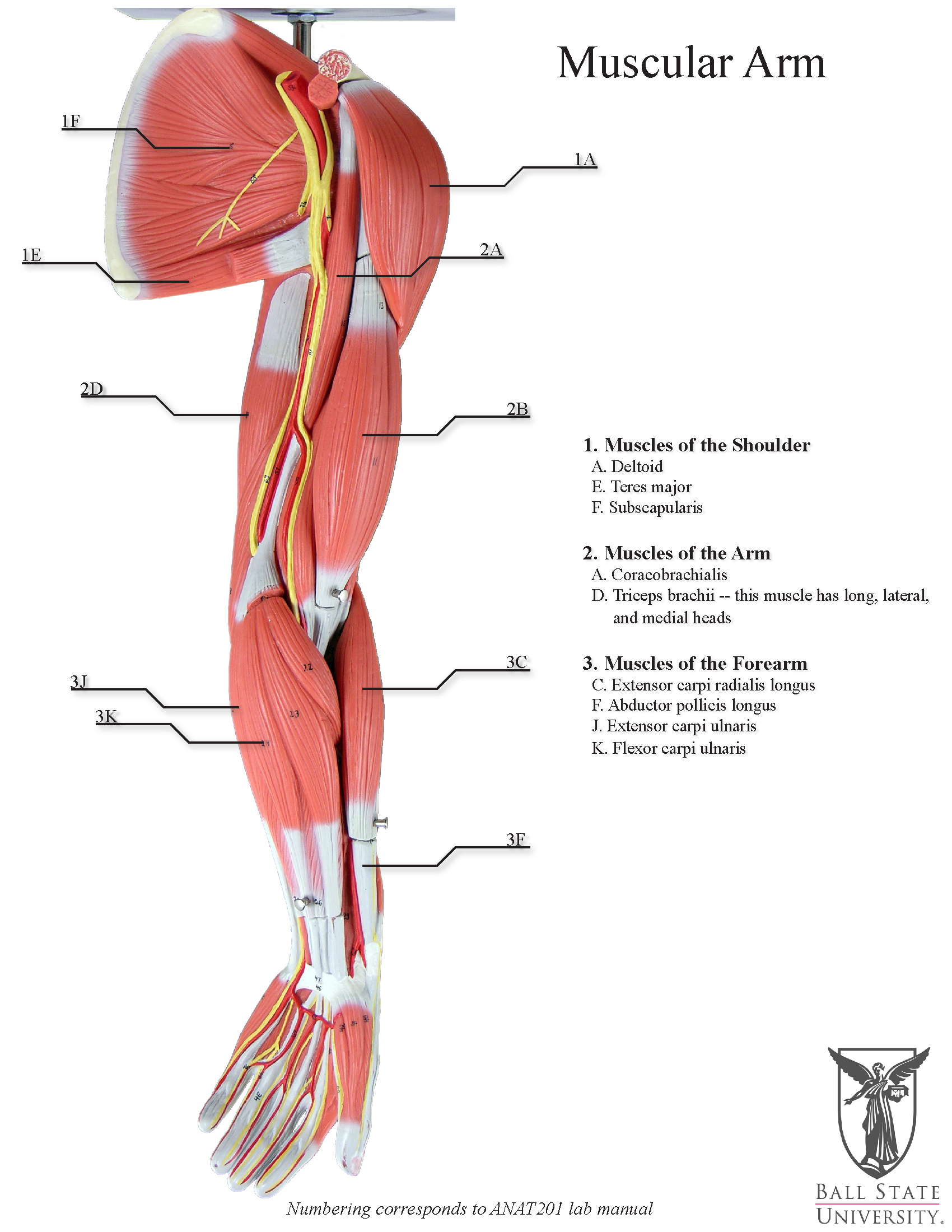 Human Muscle Diagram 10 Human Muscles Diagram Muscle Anatomy Education Picture