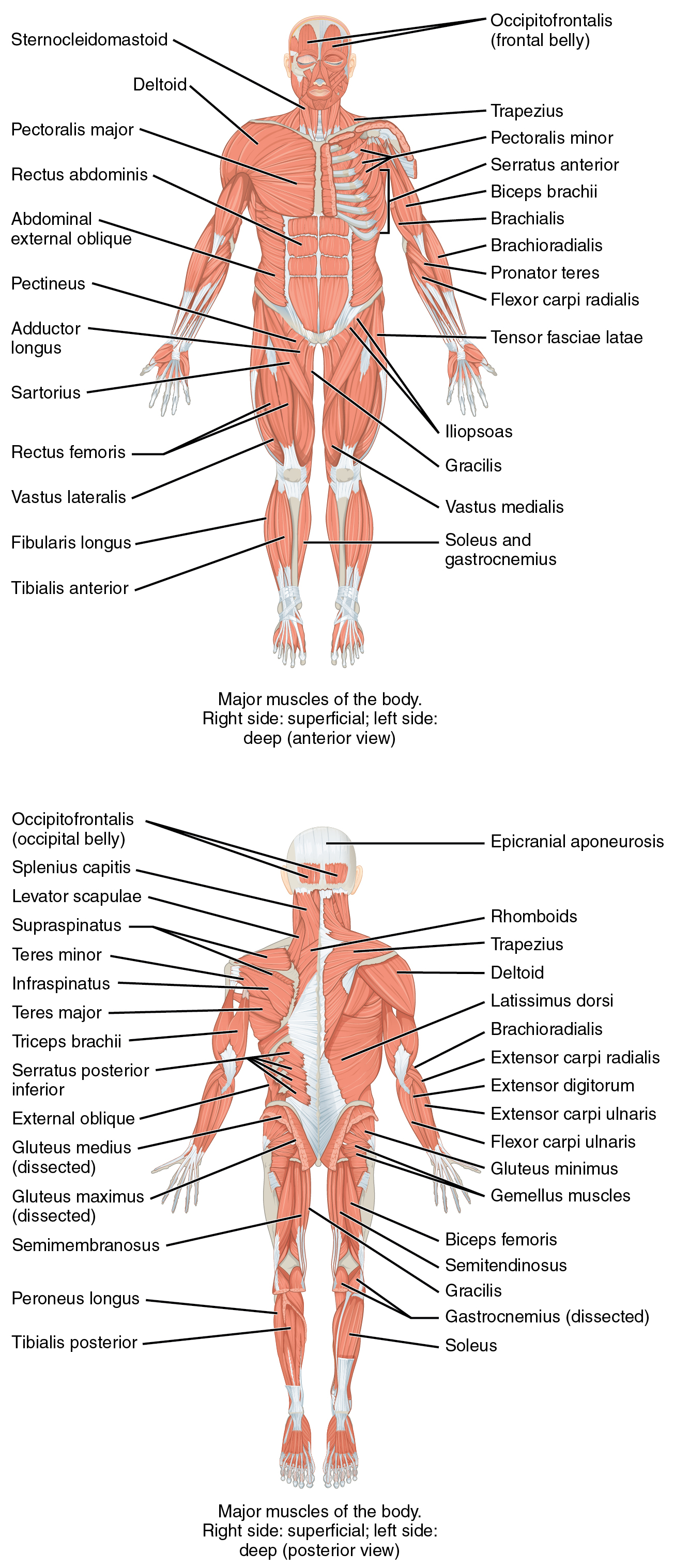 Human Muscle Diagram 112 Naming Skeletal Muscles Anatomy And Physiology