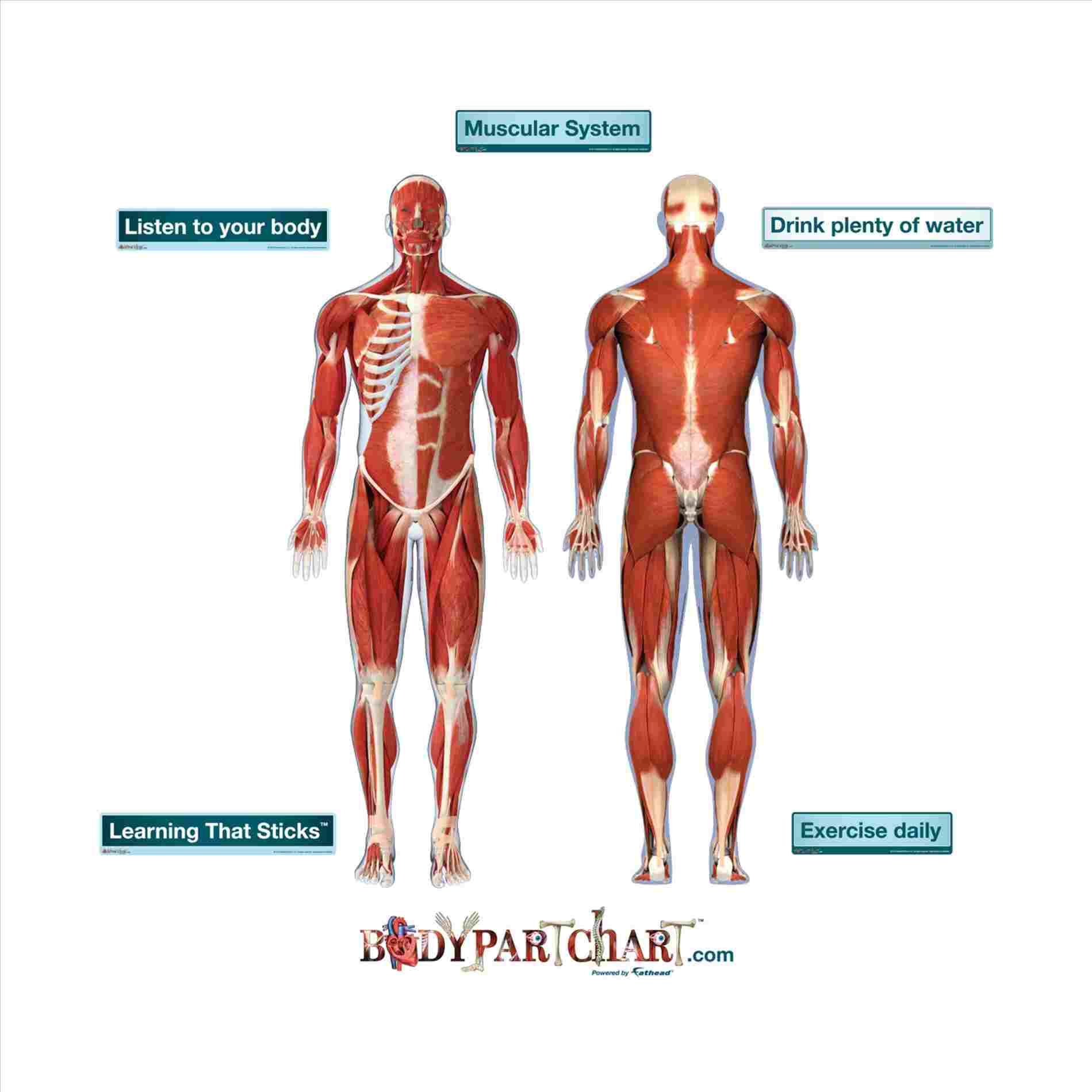 Human Muscle Diagram Body Muscle System Diagram Anatomy Body