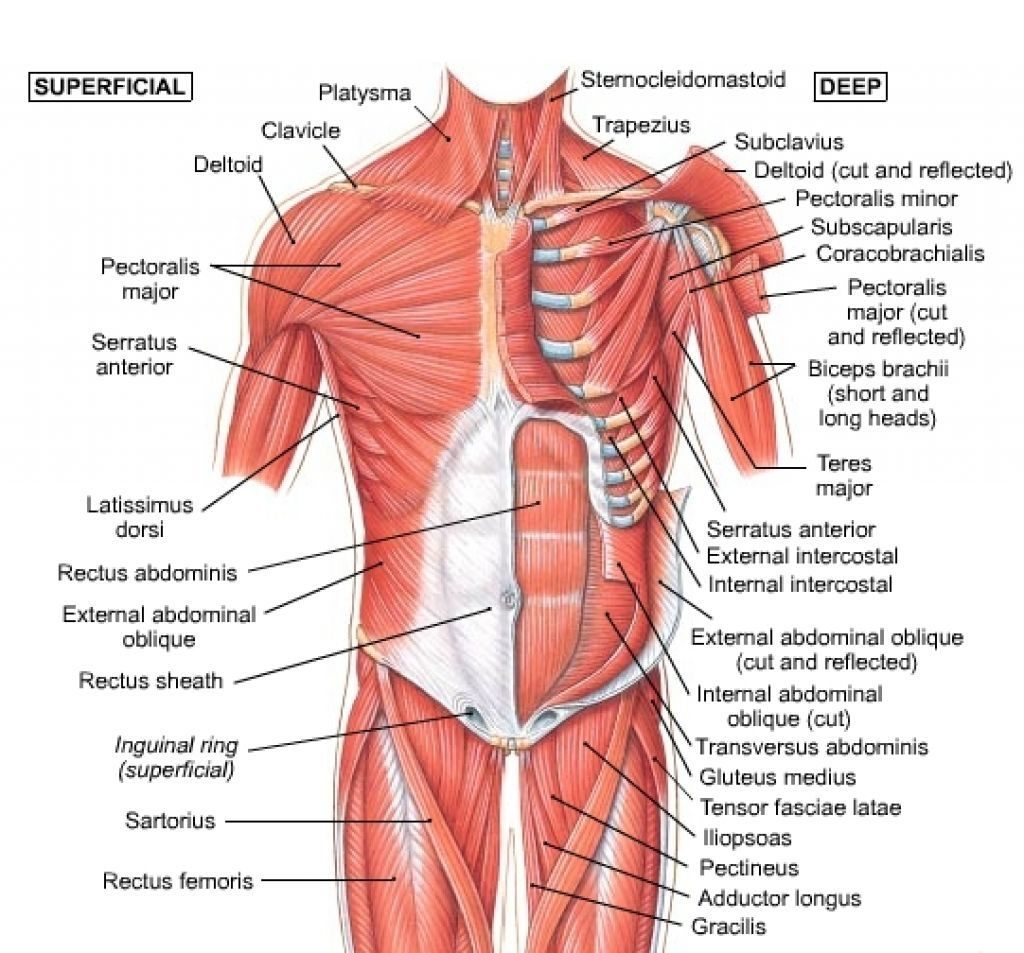 Human Muscle Diagram Coloring Human Muscles Coloring Chart Of Shoulder Chest Anatomy