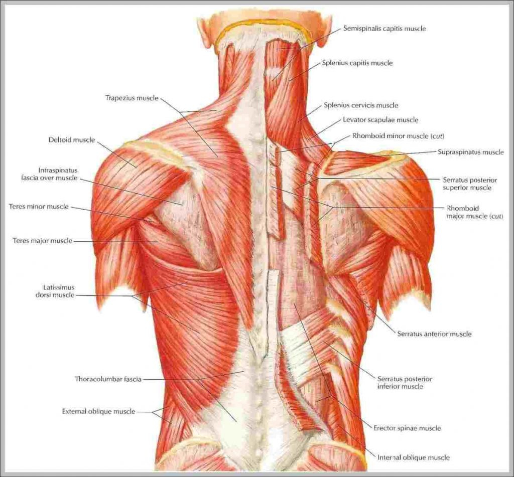 Human Muscle Diagram Coloring Page 36 Amazing Human Muscles Coloring