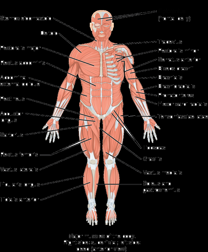 Human Muscle Diagram Diagram Labelled Of The Hip Muscles Anatomy Human Body Home Wiring