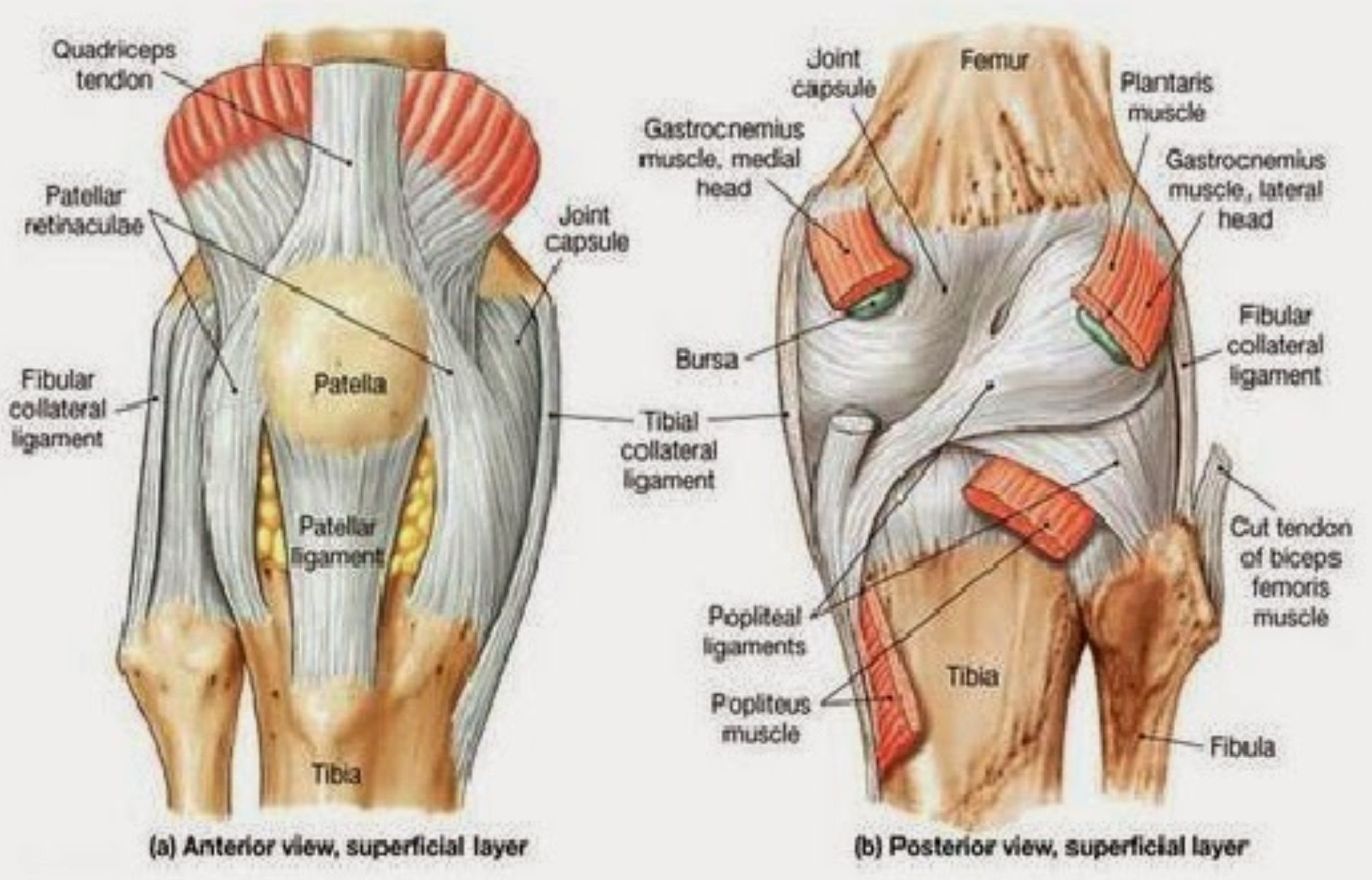 Human Muscle Diagram Diagram Of Knee Tendons Inspirational Human Muscle System Body