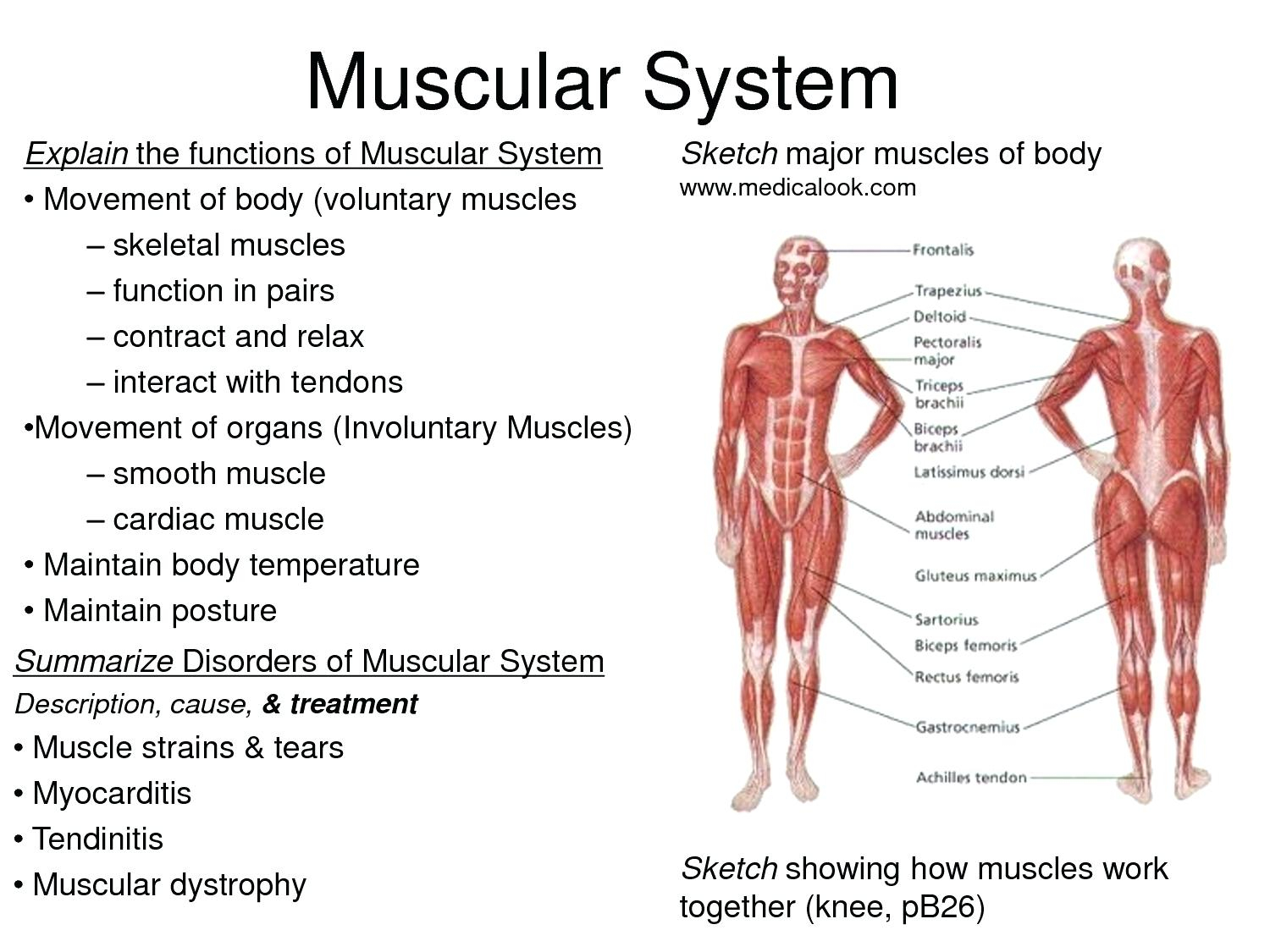 Human Muscle Diagram Diagrams Of Human Muscles Simple Muscles Diagram Printable Muscle