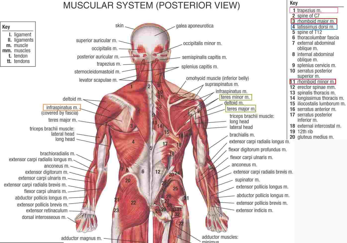 Human Muscle Diagram Hb Human Muscle Anatomy Hip Diagram Muscular System Posterior View