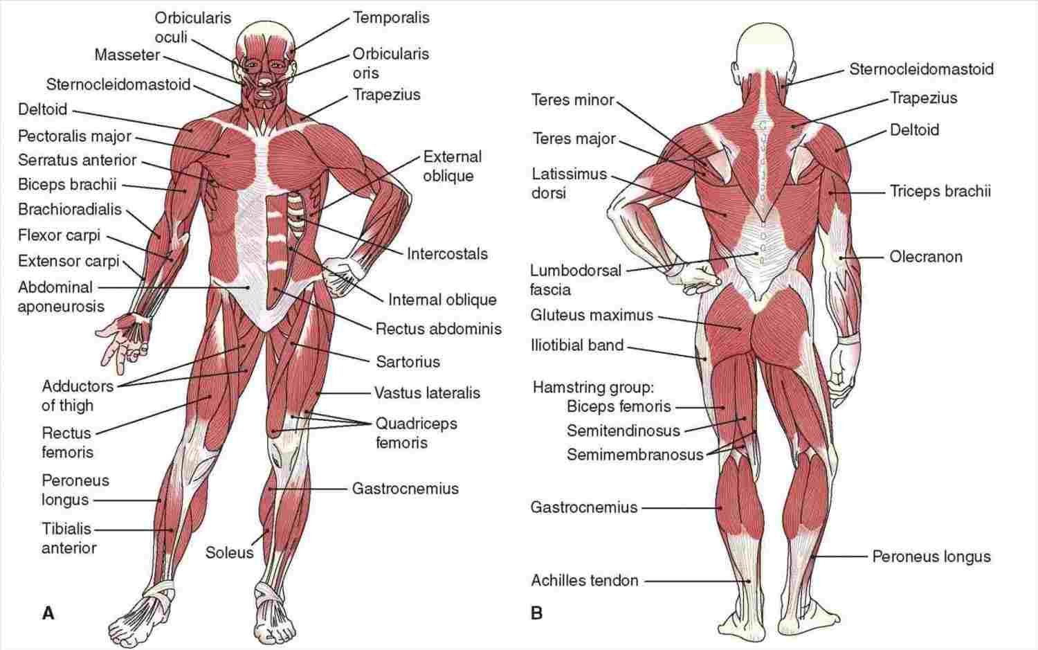 Human Muscle Diagram Human Anatomy Back Muscles Diagram Labeled Diagram Of Anatomy