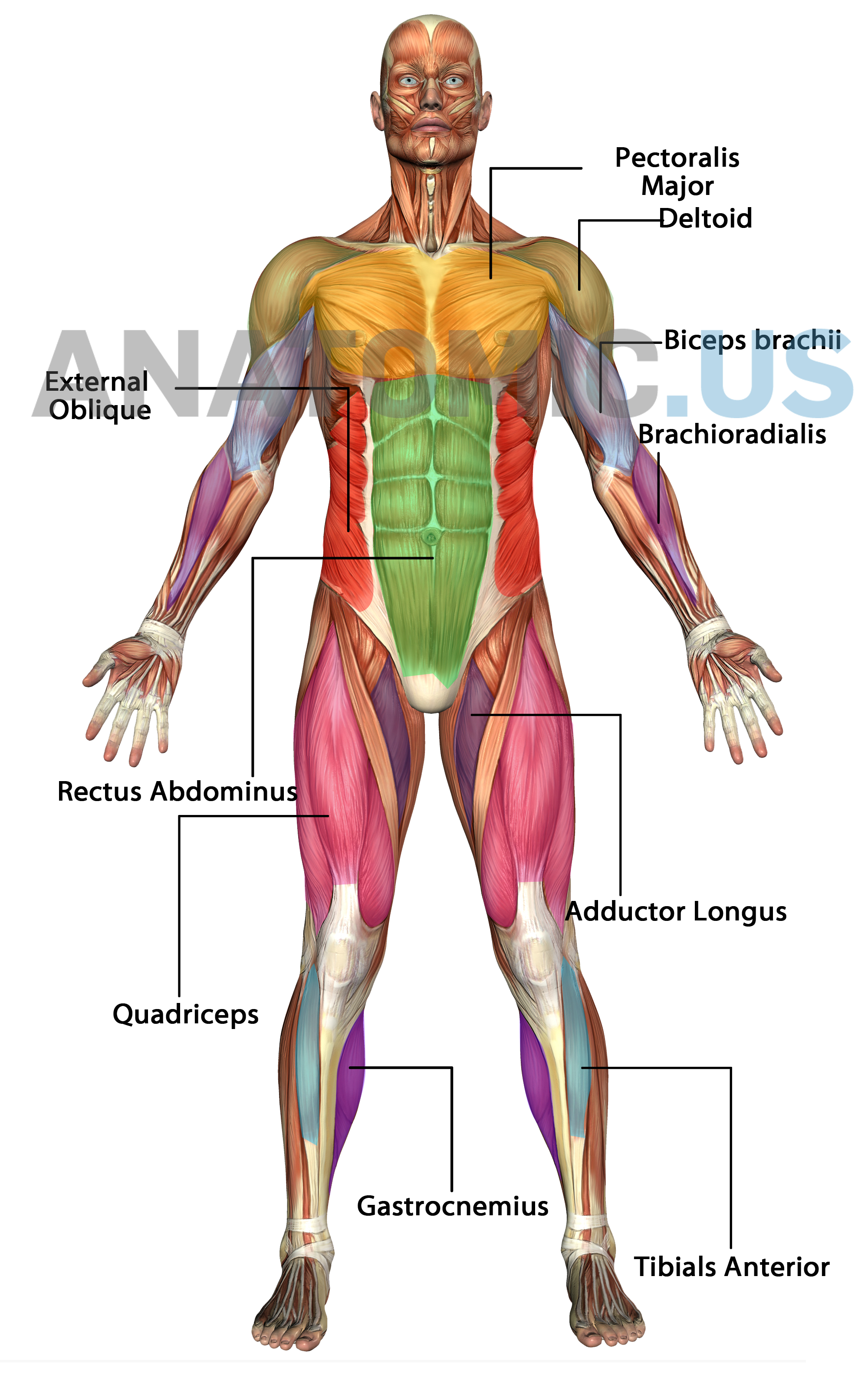 Human Muscle Diagram Human Body Muscles Diagram Labeled Beautiful Muscular System Anatomy