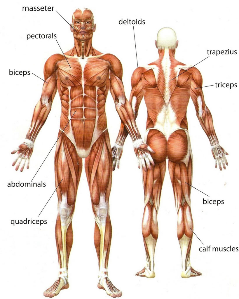 Human Muscle Diagram Human Boy Muscle Diagram Anterior And Posterior View