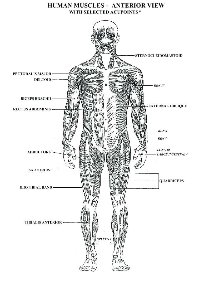 Human Muscle Diagram Human Muscle Coloring Pages Mayhemcolorco