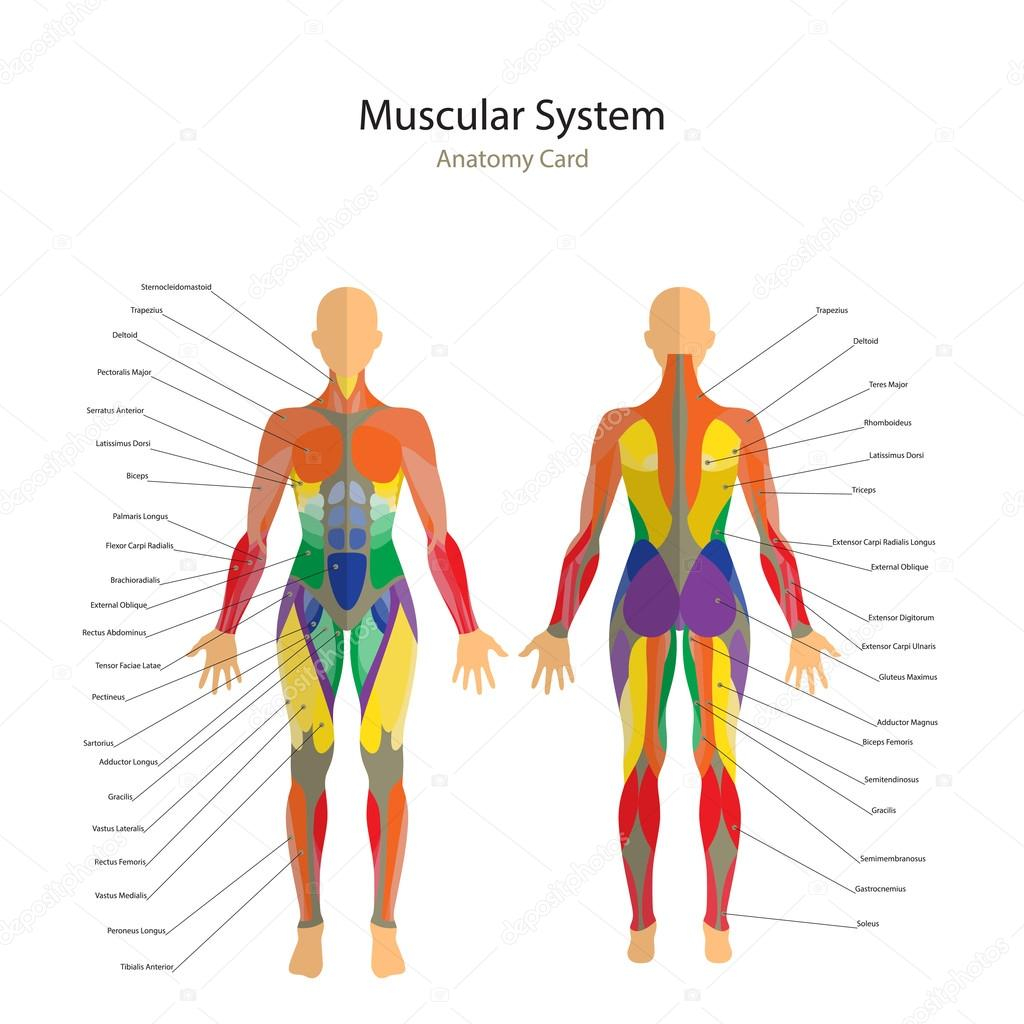 Human Muscle Diagram Human Muscles Diagram Illustration Of Human Muscles The Female