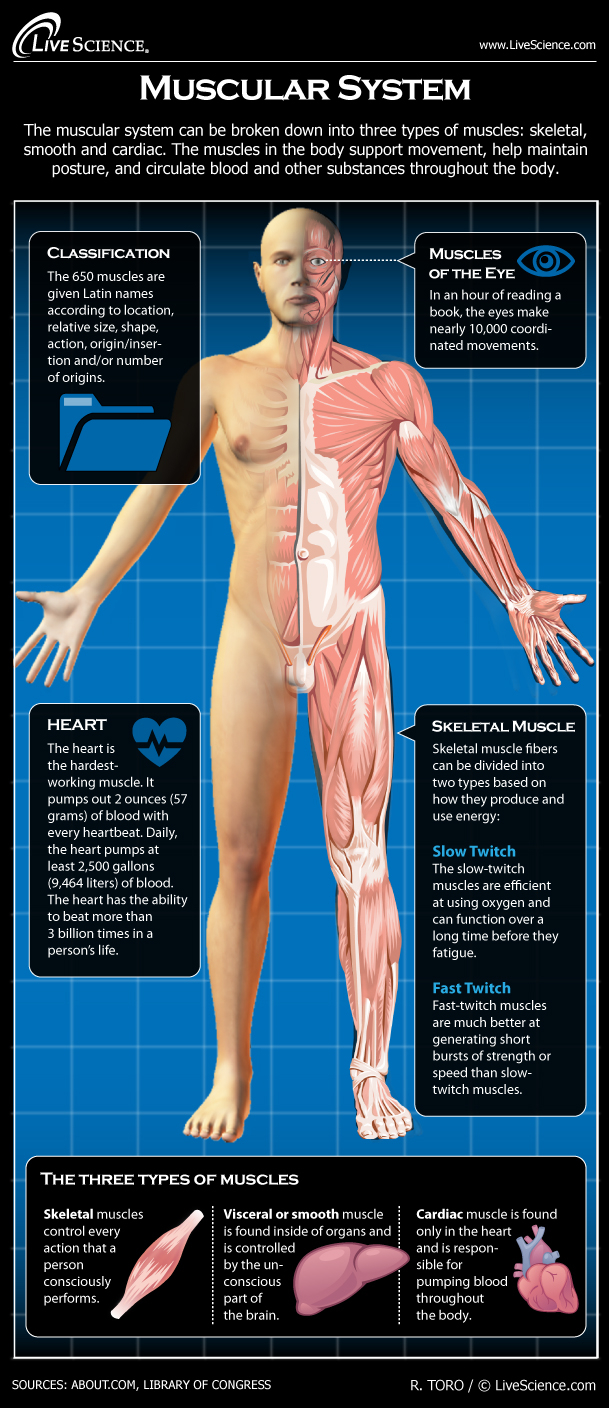 Human Muscle Diagram Human Muscular System Diagram How It Works Live Science