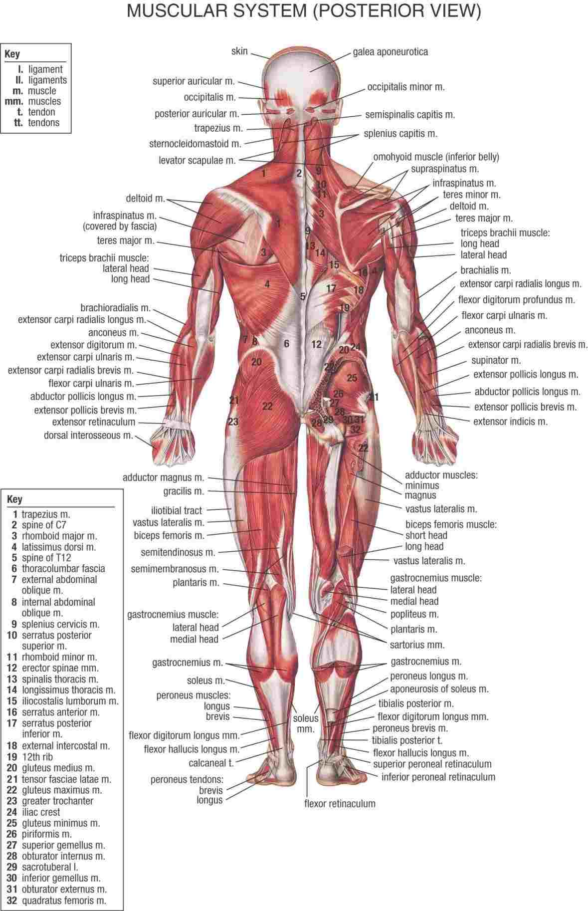 Human Muscle Diagram Labeled Diagram Of The Human Body Muscles Diagram Anatomy Body