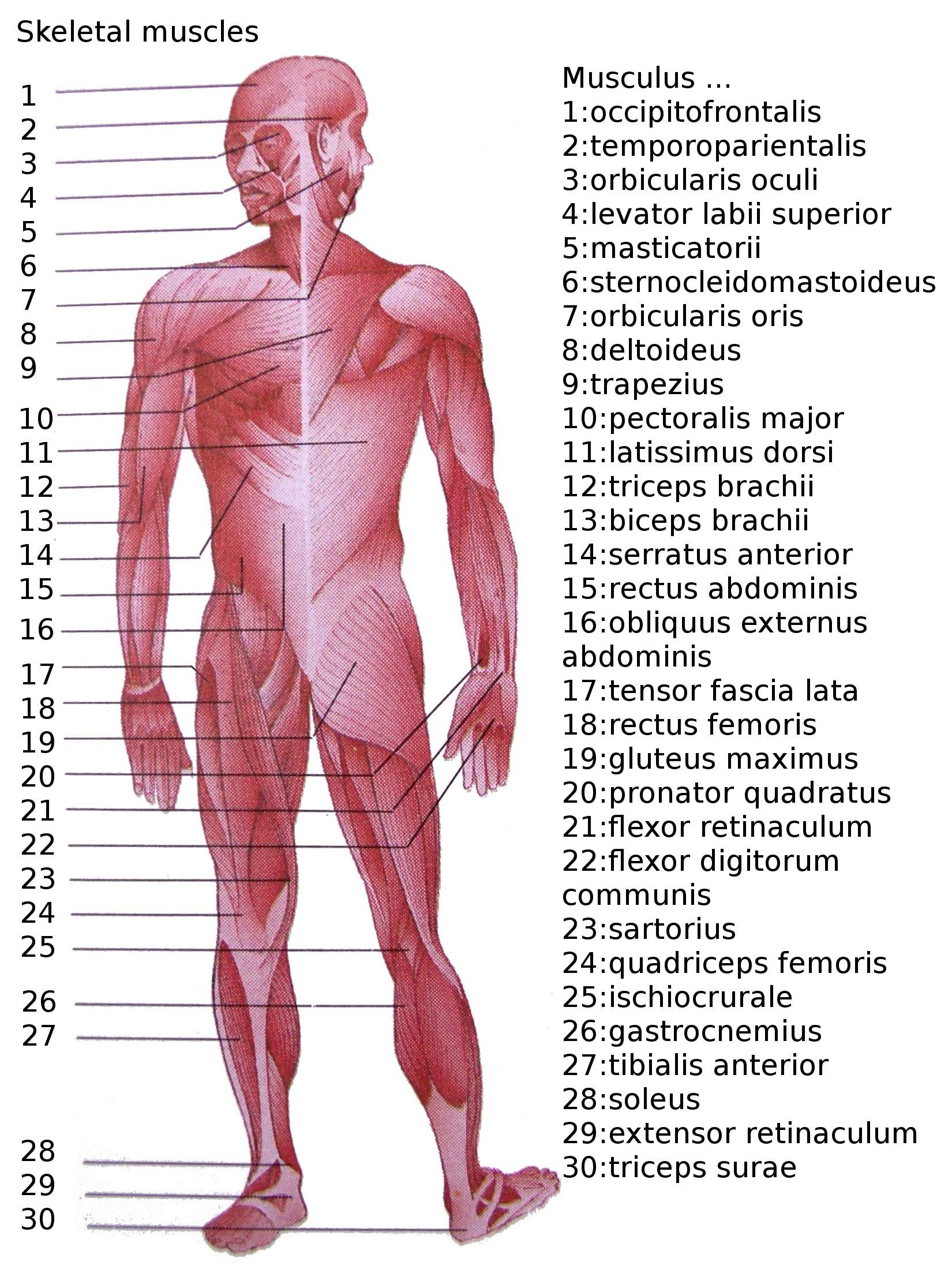 Human Muscle Diagram List Of Skeletal Muscles Of The Human Body Wikipedia