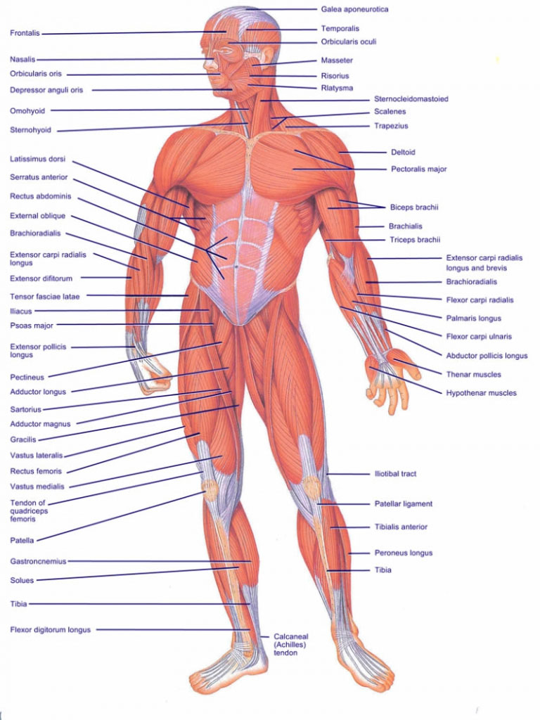 Human Muscle Diagram Muscles Diagram Of The Human Body