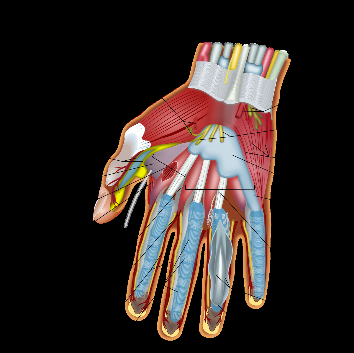 Human Muscle Diagram Muscles Of The Hand Wikipedia
