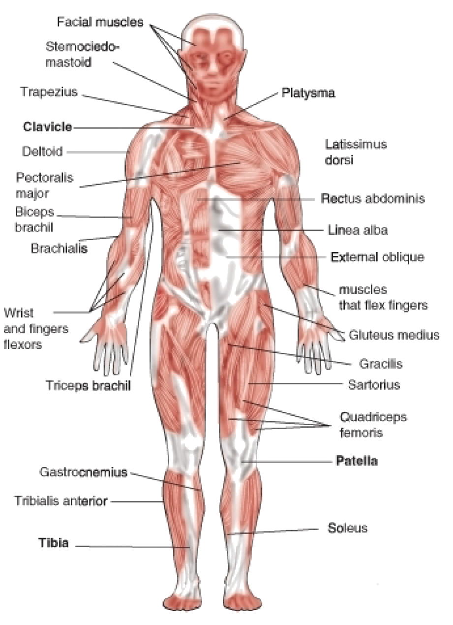 Human Muscle Diagram Muscular System Drawing At Getdrawings Free For Personal Use
