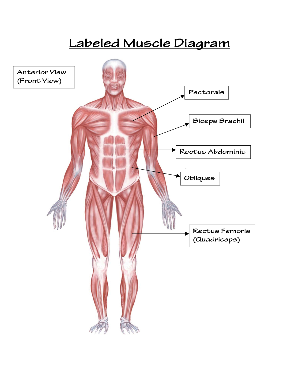 Human Muscle Diagram Muscular System Drawing At Paintingvalley Explore Collection